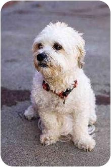 Miniature Poodle/Lhasa Apso Mix Dog for adoption in Portland, Oregon - Missy