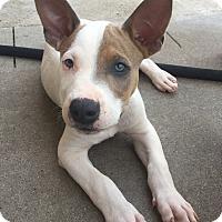 Adopt A Pet :: Drogo - Mount Juliet, TN