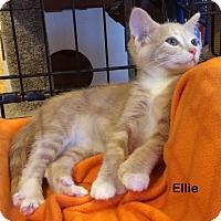 Adopt A Pet :: Ellie - Portland, OR