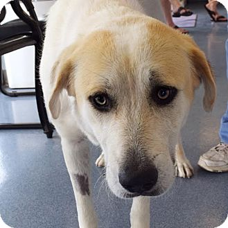 Labrador Retriever Mix Dog for adoption in Las Vegas, Nevada - Leia