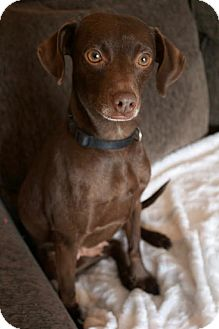 Dachshund Mix Dog for adoption in Mississauga, Ontario - Trinity