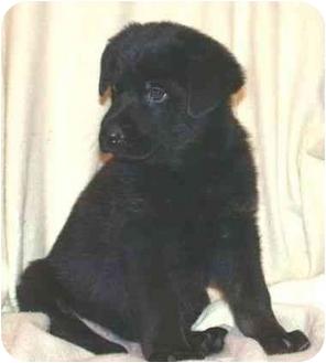 German Shepherd Dog/Labrador Retriever Mix Puppy for adoption in Seattle c/o Kingston 98346/ Washington State, Washington - Irish Litter