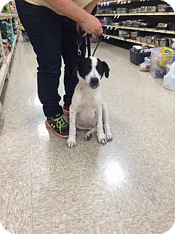 Labrador Retriever/Jack Russell Terrier Mix Dog for adoption in Hohenwald, Tennessee - Tazer