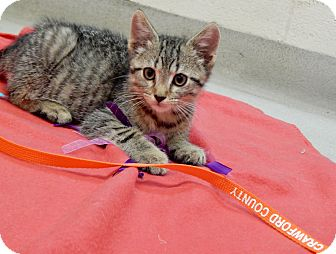Domestic Shorthair Kitten for adoption in Bucyrus, Ohio - A Boy named Sarah