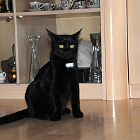 Domestic Mediumhair Cat for adoption in Marlton, New Jersey - Bear