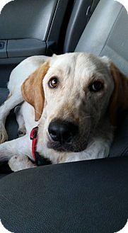 Labrador Retriever Mix Puppy for adoption in Smithtown, New York - Reno
