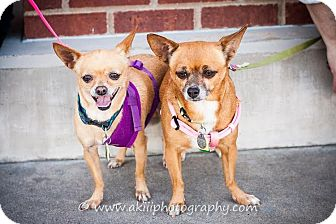 Chihuahua Mix Dog for adoption in Dallas, Texas - Khloe and Niyah