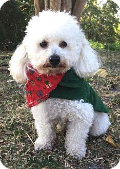 Poodle (Miniature) Mix Dog for adoption in Boca Raton, Florida - Dino