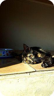 Domestic Shorthair Cat for adoption in Fairmont, West Virginia - Tortellini
