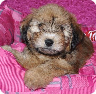 Terrier (Unknown Type, Small) Mix Puppy for adoption in Harrisonburg, Virginia - Holly