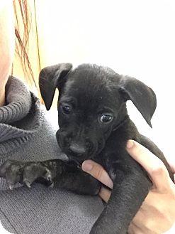 Labrador Retriever/Hound (Unknown Type) Mix Puppy for adoption in Hayes, Virginia - Shasta/Bat Girl