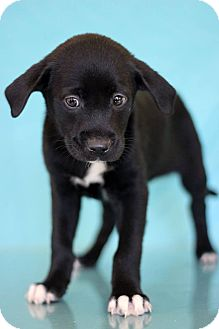 Labrador Retriever Mix Puppy for adoption in Waldorf, Maryland - Redskins