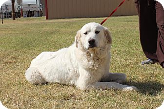 Great Pyrenees/Labrador Retriever Mix Dog for adoption in Winsted, Connecticut - lillie