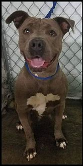 American Pit Bull Terrier Mix Dog for adoption in Lancaster, California - Midnight