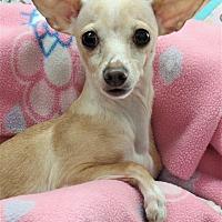 Italian Greyhound/Chihuahua Mix Dog for adoption in Inland Empire, California - GAIL