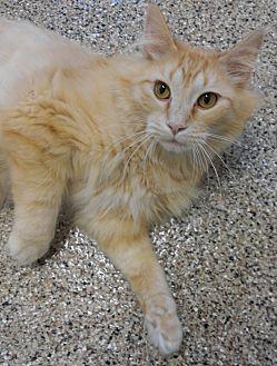 Domestic Mediumhair Cat for adoption in Cloquet, Minnesota - Bronks