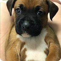 Adopt A Pet :: Maverick - ST LOUIS, MO