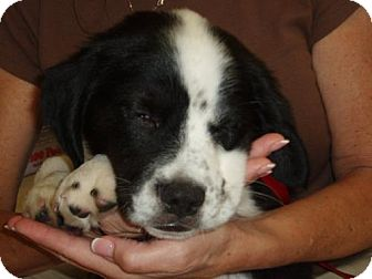 Border Collie/Spaniel (Unknown Type) Mix Puppy for adoption in Cantonment, Florida - Bentley