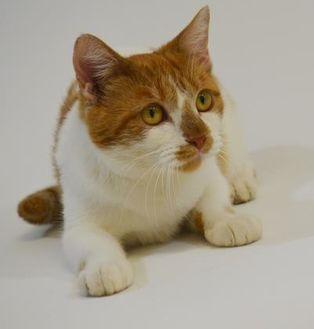 Domestic Shorthair/Domestic Shorthair Mix Cat for adoption in New Iberia, Louisiana - Estelle