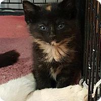 Domestic Shorthair Kitten for adoption in Lagrange, Indiana - Kona