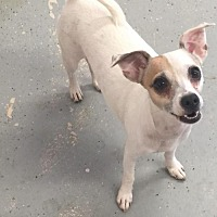 Adopt A Pet :: Lilia - Phoenix, AZ