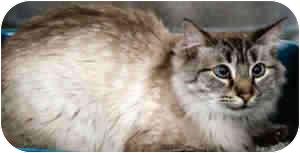 Birman Cat for adoption in Clifton, New Jersey - Sammy