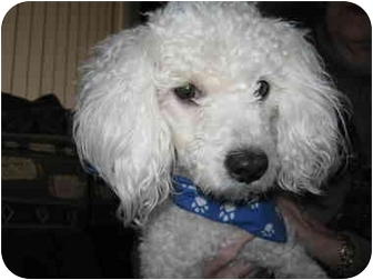 Poodle (Toy or Tea Cup) Mix Dog for adoption in Sedona, Arizona - Pillow