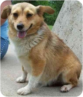 Sheltie, Shetland Sheepdog/Chihuahua Mix Dog for adoption in North Judson, Indiana - Puppa