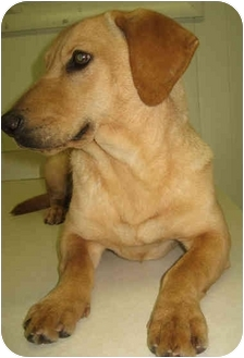 Labrador Retriever/Basset Hound Mix Dog for adoption in Mt. Prospect, Illinois - Lady Butters