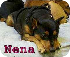 Miniature Pinscher Dog for adoption in Appleton, Wisconsin - Nena