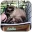 Photo 2 - Siamese Cat for adoption in Floyd, Virginia - Sadie