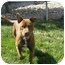 Photo 1 - American Pit Bull Terrier Dog for adoption in Meridian, Idaho - Bruno