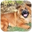 Photo 3 - Shepherd (Unknown Type)/Chow Chow Mix Dog for adoption in Sacramento, California - Gretta