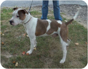 American Staffordshire Terrier Mix Dog for adoption in Paris, Illinois - Spinner