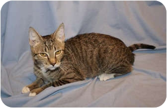 Domestic Shorthair Kitten for adoption in Houston, Texas - Tabitha