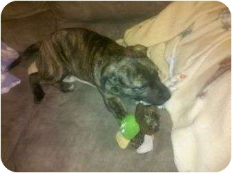American Pit Bull Terrier Mix Puppy for adoption in Claypool, Indiana - Hope