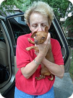 Dachshund/Chihuahua Mix Dog for adoption in Buffalo, New York - Redbone: 5 #, 2 years