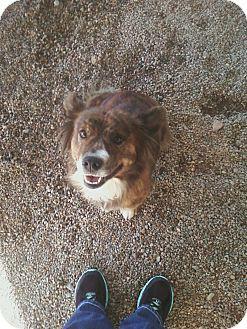 Welsh Corgi/Australian Shepherd Mix Dog for adoption in Chino Valley, Arizona - Cassidy