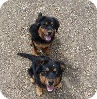 Shepherd (Unknown Type)/Rottweiler Mix Puppy for adoption in Merritt, British Columbia - Taylor