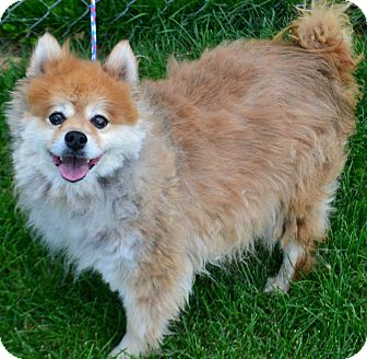 Pomeranian Mix Dog for adoption in Fruit Heights, Utah - Chunk