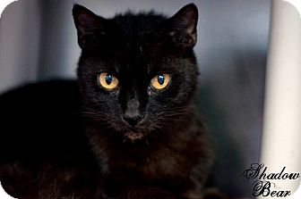 Domestic Shorthair Cat for adoption in Manahawkin, New Jersey - Shadow Bear