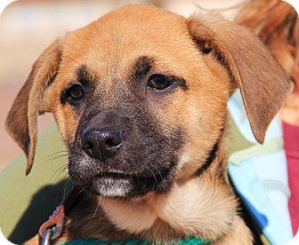 German Shepherd Dog Mix Puppy for adoption in Chicago, Illinois - Jeremy