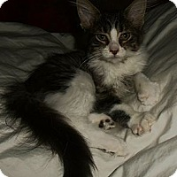 Adopt A Pet :: Peaches - Sterling Hgts, MI