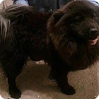 Adopt A Pet :: chow - Justin, TX