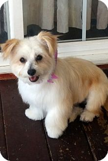 Lhasa Apso/Terrier (Unknown Type, Small) Mix Dog for adoption in Winnetka, California - BONSAI