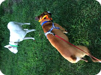 Boxer Mix Dog for adoption in Westminster, Maryland - Buggs