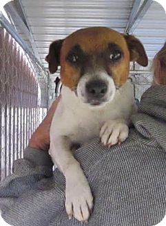 Jack Russell Terrier Mix Dog for adoption in Medora, Indiana - Muffin