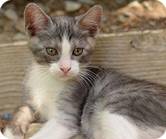 Domestic Mediumhair Kitten for adoption in North Highlands, California - Leonardo