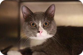 Domestic Shorthair Kitten for adoption in Hillside, Illinois - Pluto (Riley's brother)