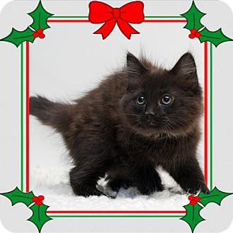 Domestic Mediumhair Kitten for adoption in Troy, Ohio - Winston